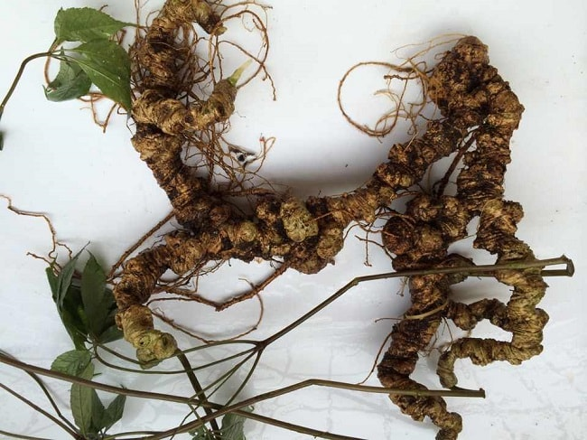 Thảo dược sâm Ngọc Linh tự nhiên 100 năm tuổi