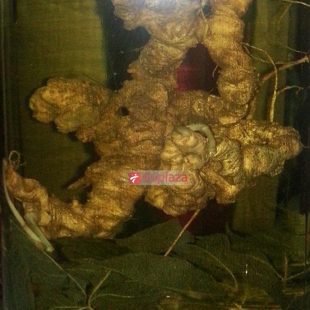 Bình sâm ngọc linh 100 năm tuổi (loại 1,9kg/1 củ) 2