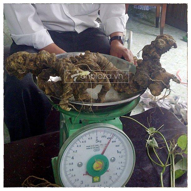 Bình sâm ngọc linh 100 năm tuổi (loại 1,9kg/1 củ) 5