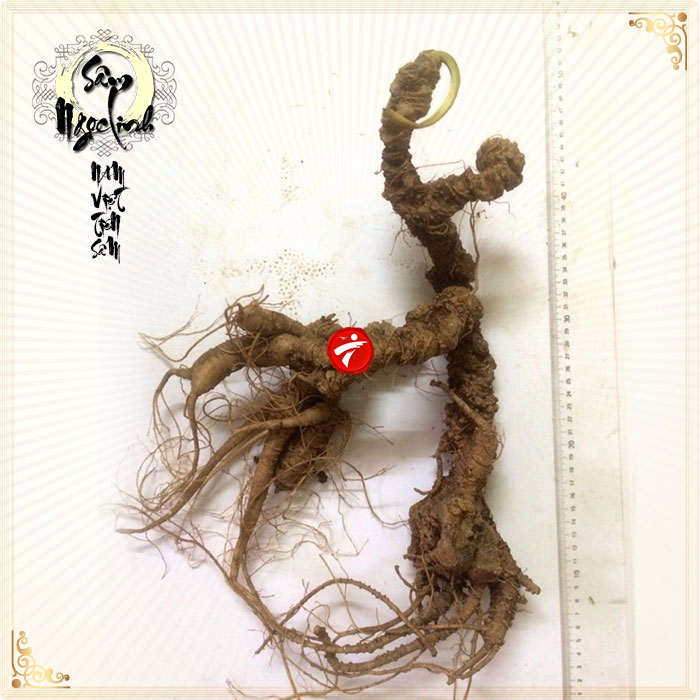 Sâm Ngọc Linh tự nhiên loại 100 năm tuổi 1.8kg-2.5kg/củ