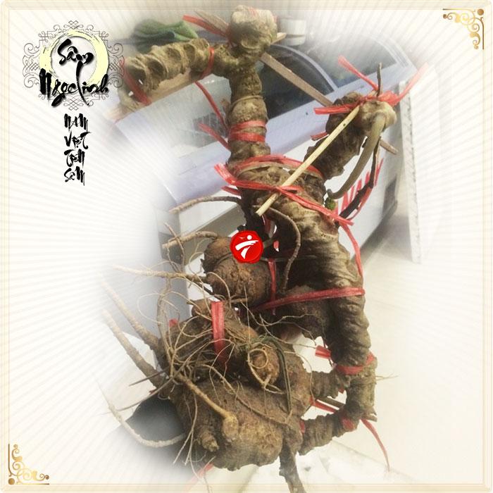 Sâm Ngọc Linh tự nhiên xấp xỉ 150 năm tuổi loại 3,3 kg/củ