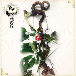 Sâm Ngọc Linh tự nhiên loại 85 năm tuổi 8 lạng-9 lạng/củ