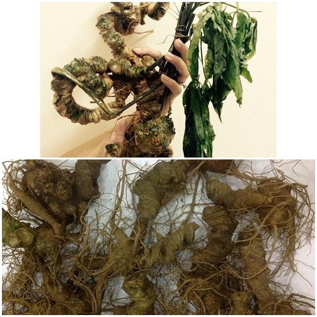 Sâm Ngọc Linh tự nhiên (bên trên) ít rễ và sâm Ngọc Linh trồng (bên dưới) thân dài, nhiều rễ