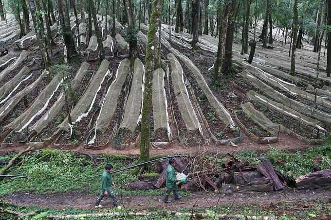 Kỹ thuật trồng sâm Ngọc Linh dưới tán rừng