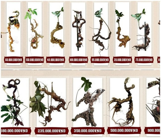 Sâm Ngọc Linh có được ví như đông trùng hạ thảo Tây Tạng