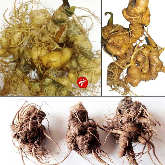 Sâm Ngọc Linh trồng Quảng Nam loại 10 củ/kg NS341 3