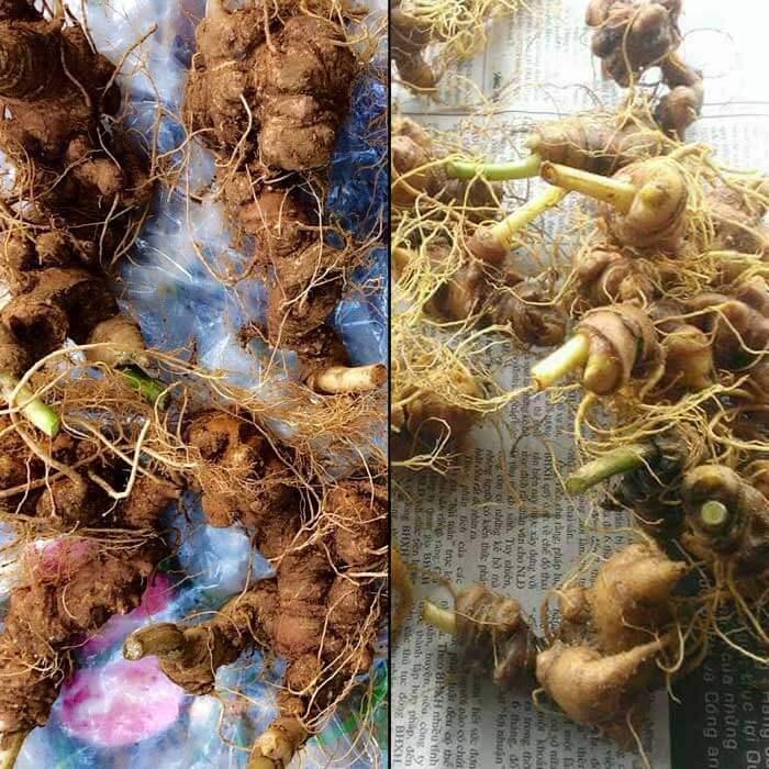 Sâm Ngọc Linh trồng Quảng Nam loại 10 củ/kg NS341 1