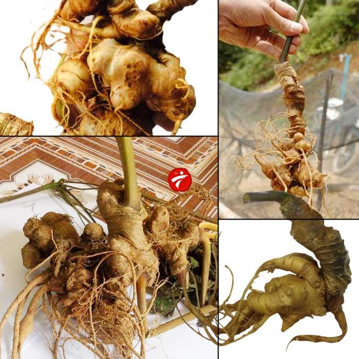 Sâm Ngọc Linh trồng Quảng Nam loại 2-5 củ/kg NS340 1
