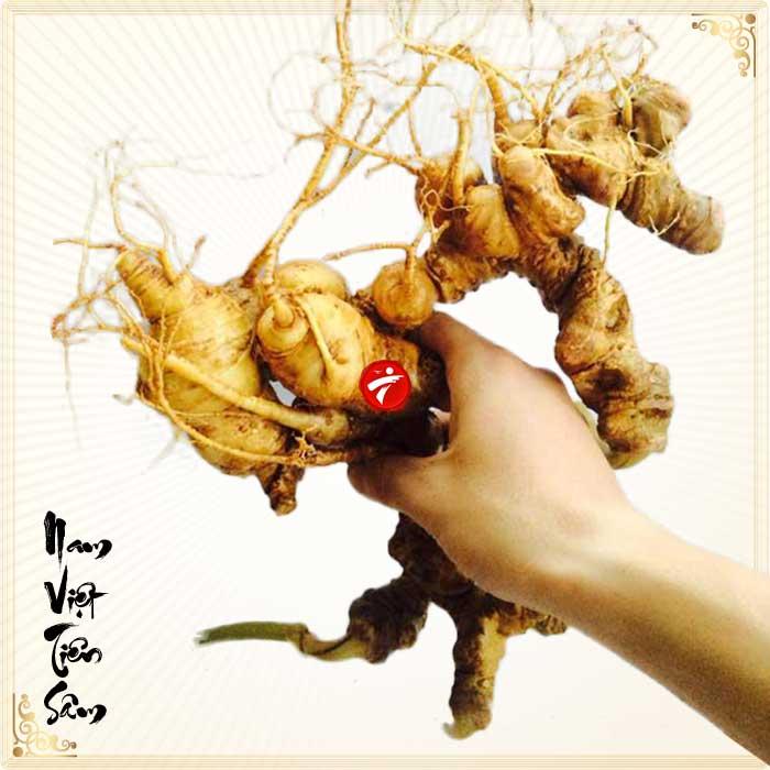 Sâm Ngọc Linh trồng Quảng Nam loại 2-5 củ/kg NS340