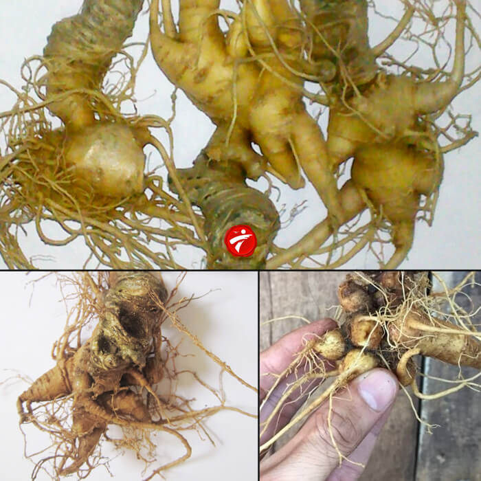 Sâm Ngọc Linh trồng Quảng Nam loại 20 củ/kg NS342 1
