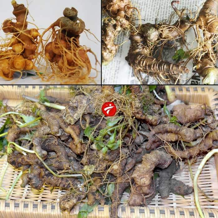 Sâm Ngọc Linh trồng Quảng Nam loại 20 củ/kg NS342 3