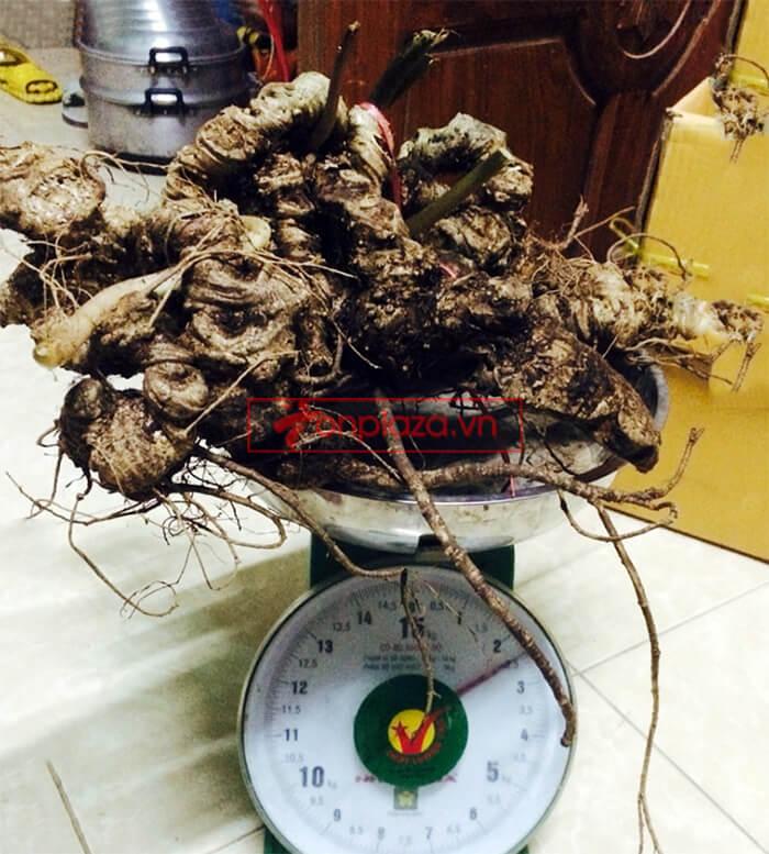Bình sâm ngọc linh thượng hạng 150 tuổi 2.4kg/củ 4