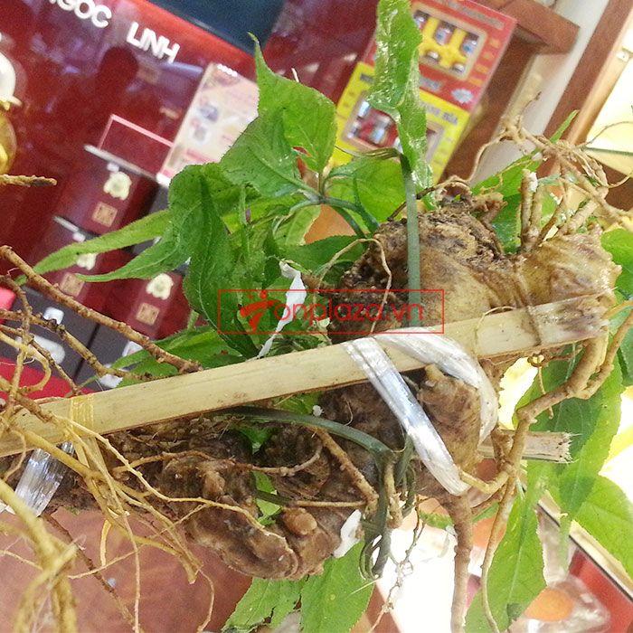 Củ sâm ngọc linh rừng loại 1.9kg 85 năm tuổi 2