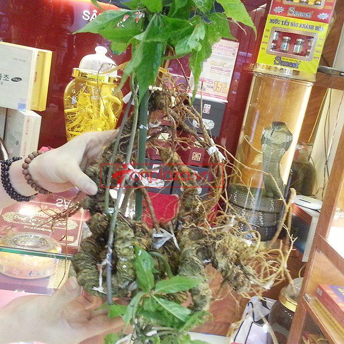 Củ sâm ngọc linh rừng loại 1.9kg 85 năm tuổi 3