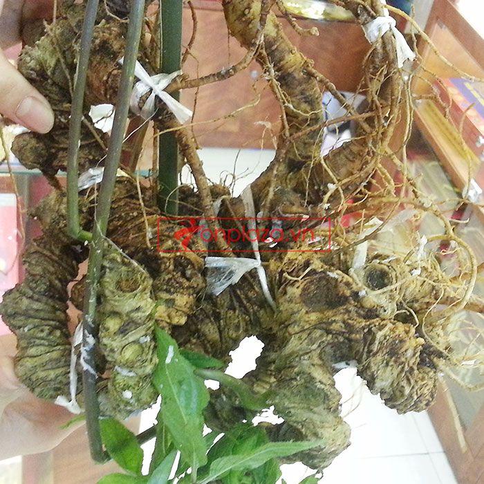 Củ sâm ngọc linh rừng loại 1.9kg 85 năm tuổi 4