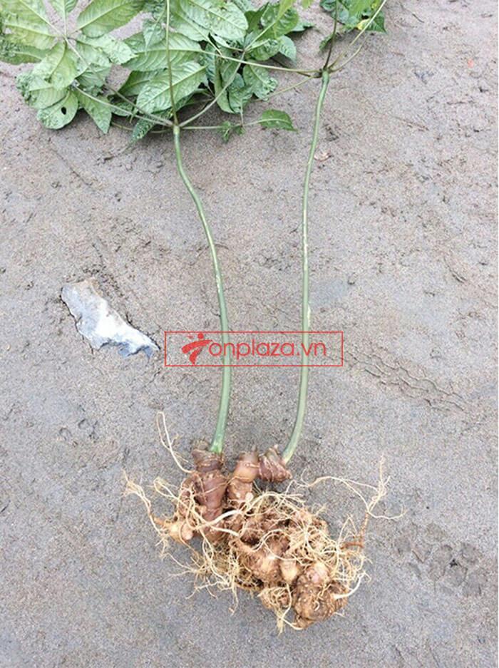 Sâm Ngọc Linh trồng cao cấp loại 30 năm tuổi 1,2 kg/củ 1