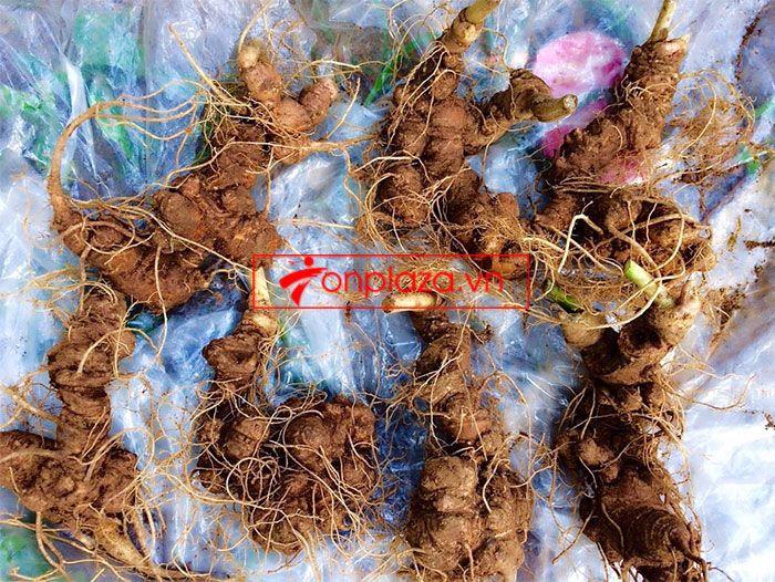 Sâm Ngọc Linh trồng chất lượng cao loại 10 - 20 củ/1 kg 1