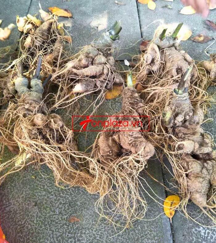 Sâm Ngọc Linh trồng chất lượng cao loại 10 - 20 củ/1 kg 10