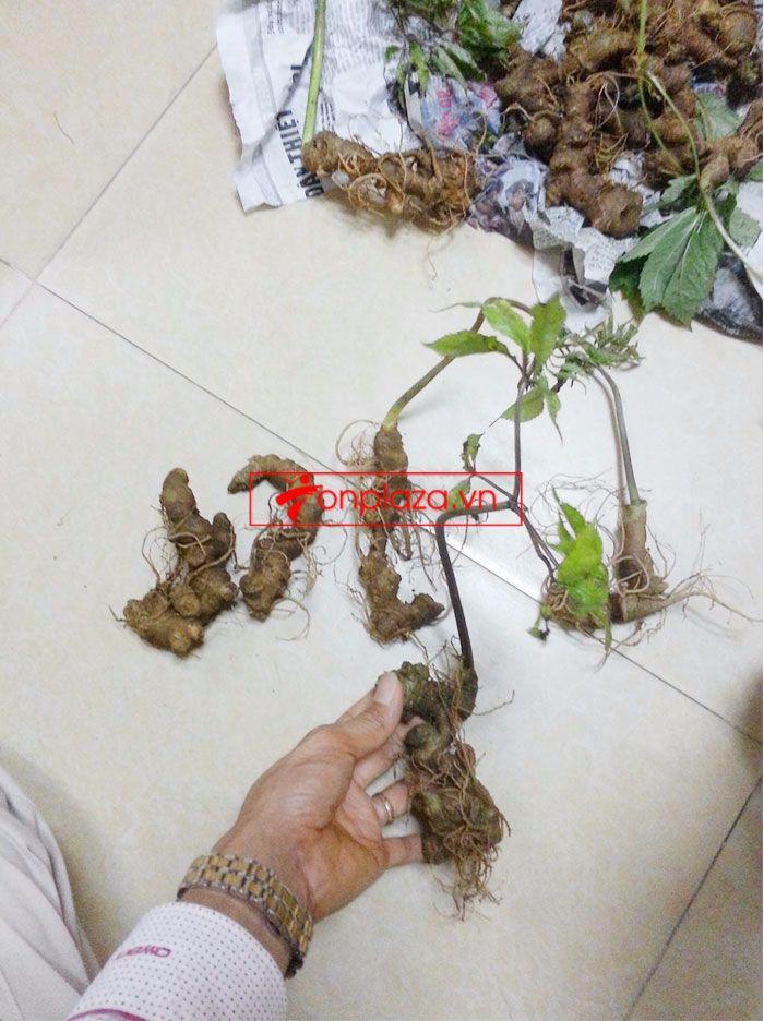 Sâm Ngọc Linh trồng chất lượng cao loại 10 - 20 củ/1 kg 11