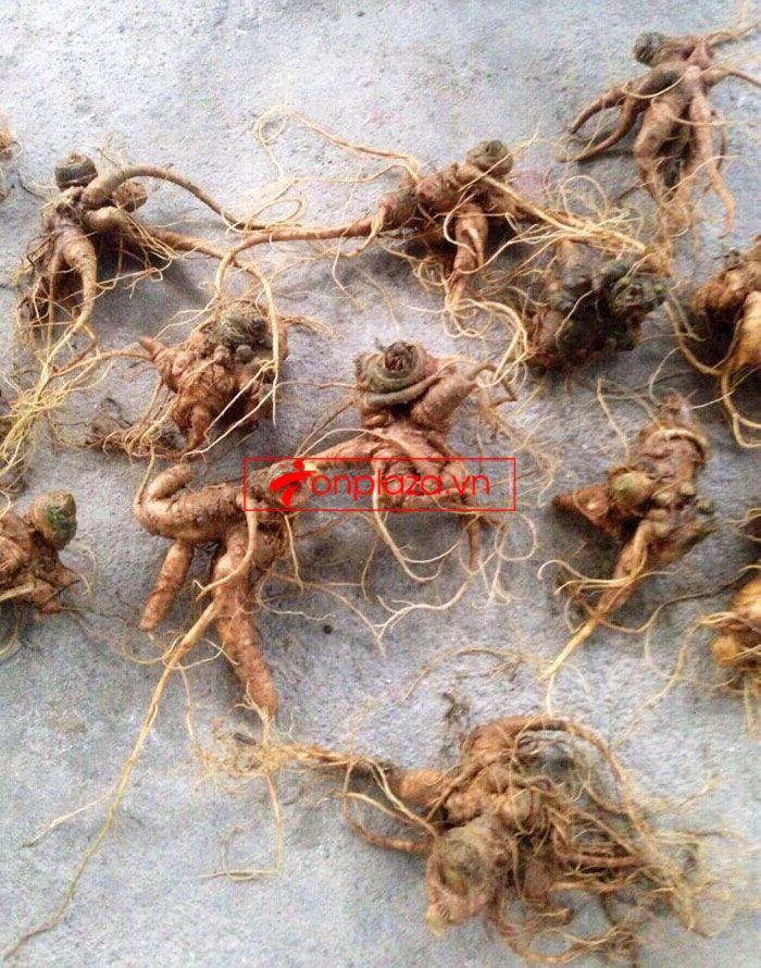 Sâm Ngọc Linh trồng chất lượng cao loại 10 - 20 củ/1 kg 2