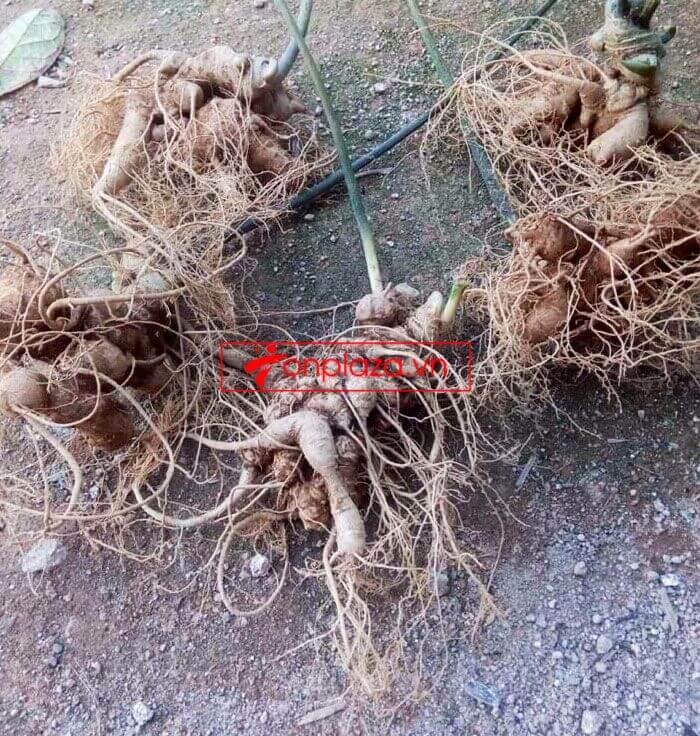 Sâm Ngọc Linh trồng chất lượng cao loại 10 - 20 củ/1 kg 4