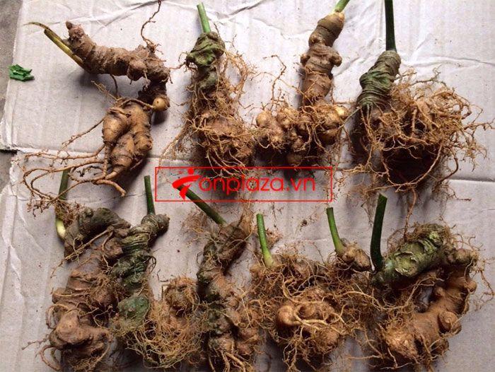 Sâm Ngọc Linh trồng chất lượng cao loại 10 - 20 củ/1 kg 5