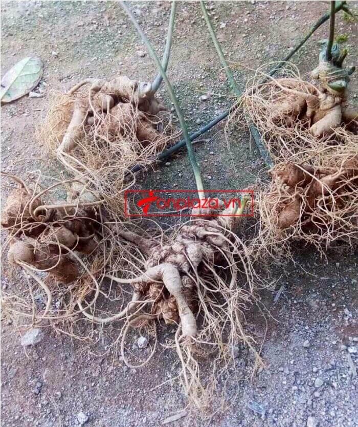 Sâm Ngọc Linh trồng chất lượng cao loại 10 - 20 củ/1 kg 7