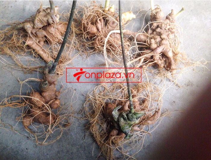 Sâm Ngọc Linh trồng chất lượng cao loại 10 - 20 củ/1 kg 8