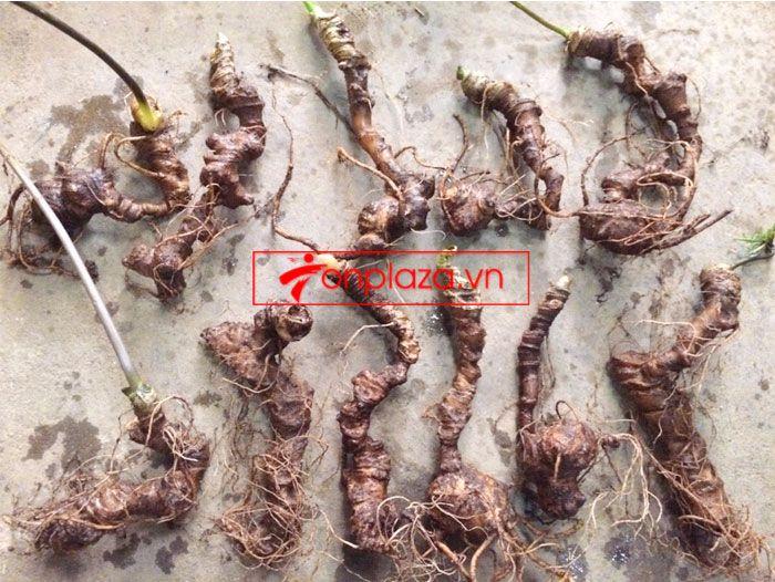 Sâm Ngọc Linh trồng chất lượng cao loại 10 - 20 củ/1 kg 9