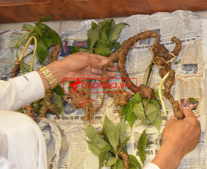 Sâm Ngọc Linh tự nhiên nguyên củ loại 10 - 20 củ/1kg 2