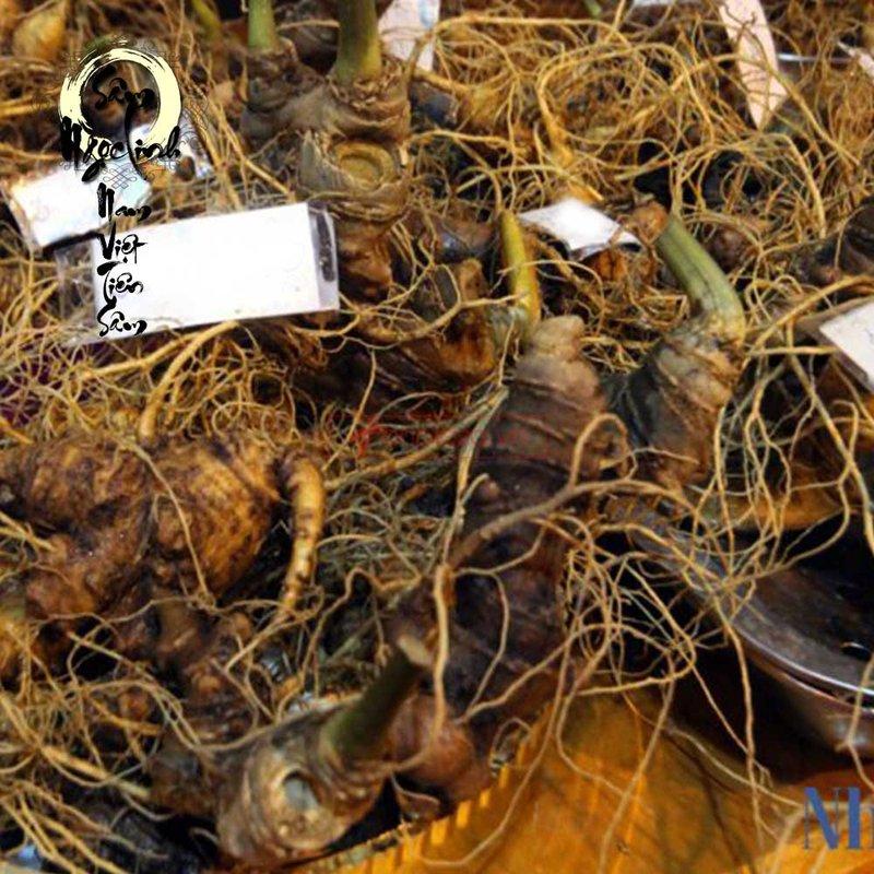 Sâm Ngọc Linh trồng 10 củ 1 cân
