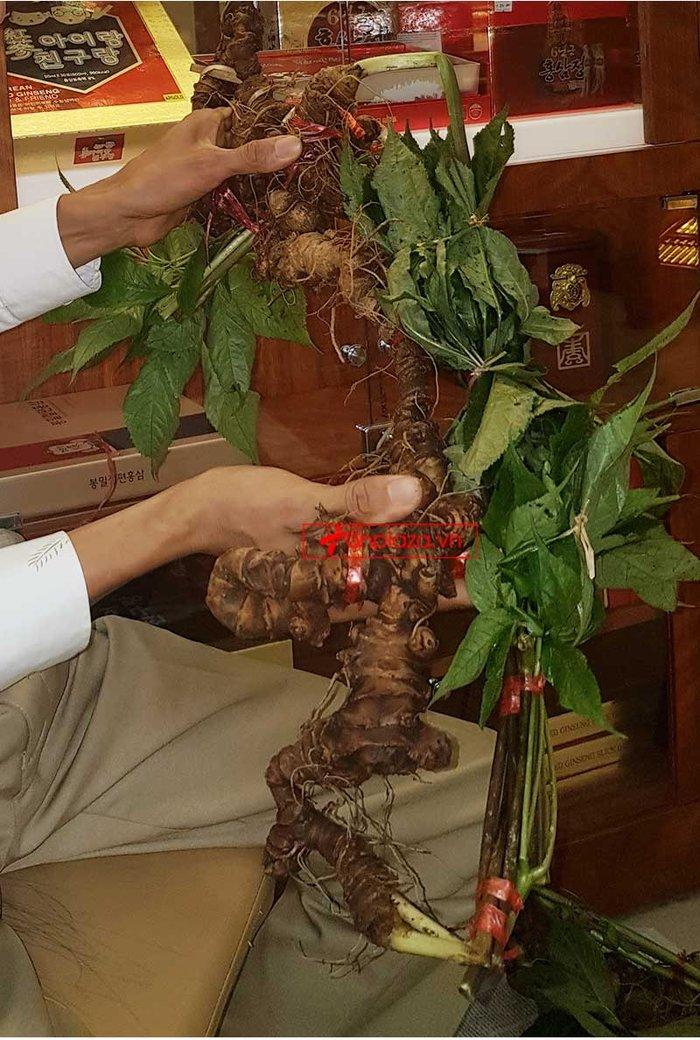 Sâm Ngọc Linh cao cấp 0,4 đến 0,7kg/1 củ NS658 6