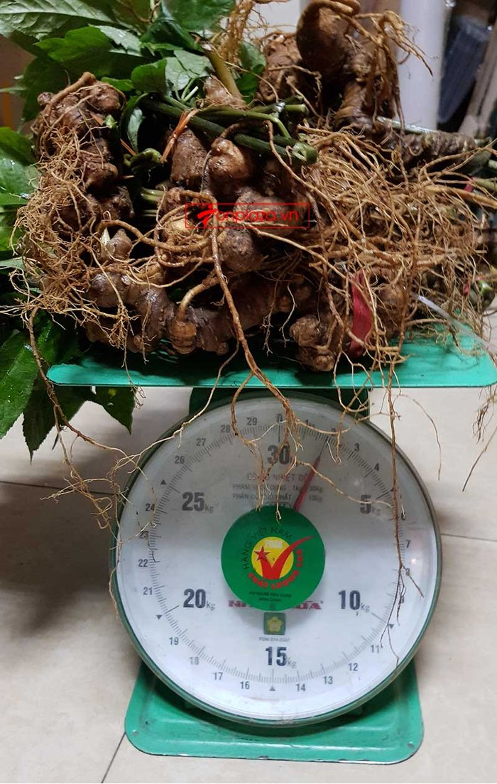 Sâm ngọc linh 6 đến 7 năm tuổi (9 đến 11 củ/kg) NS227 4