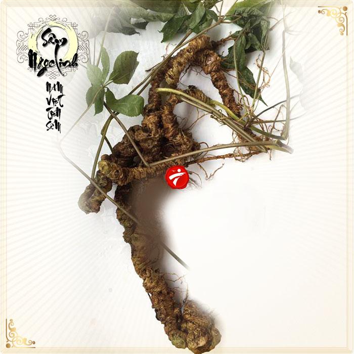 Sâm Ngọc Linh núi 75 năm tuổi loại 5-6 lạng 1 củ