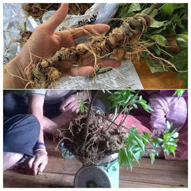 Bình sâm ngọc linh 100 năm tuổi (loại 1,9kg/1 củ) 3
