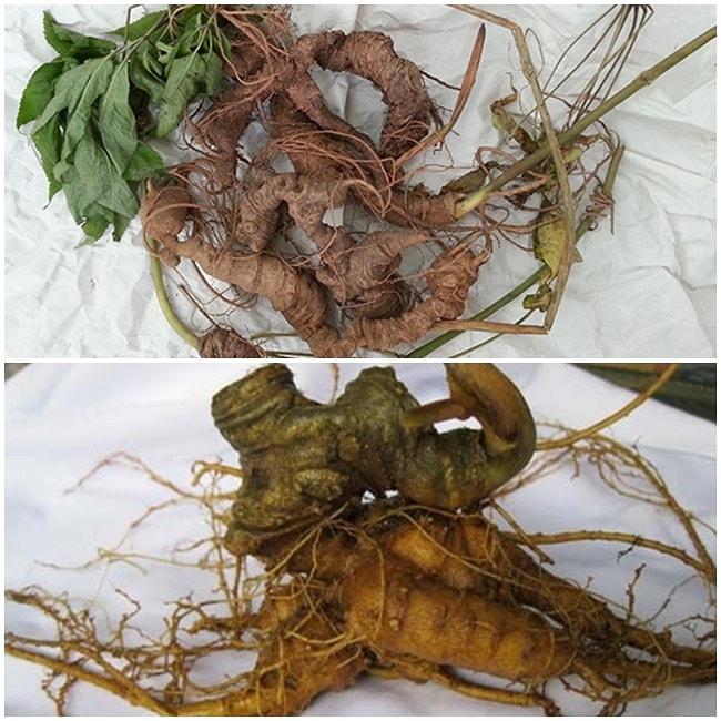 Sâm Ngọc Linh tự nhiên (bên trên) thân dài, nhỏ và sâm Ngọc linh trồng (bên dưới) thân mập, ngắn