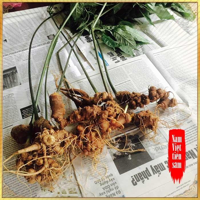 Sâm ngọc linh 5 năm tuổi 11 đến 16 củ/1 kg NS226