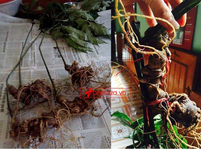Sâm ngọc linh 5 năm tuổi 11 đến 16 củ/1 kg NS226 2
