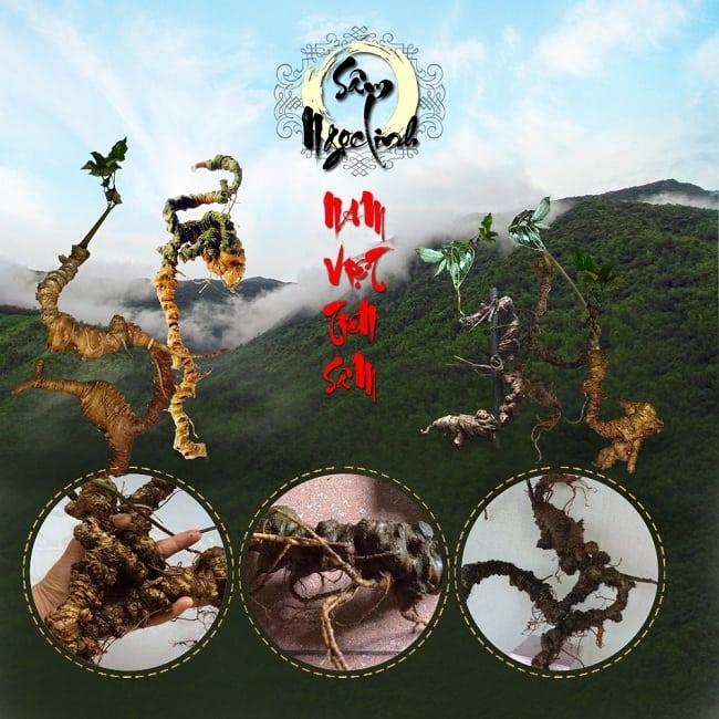Sâm Ngọc Linh - Loài sâm quý của thiên nhiên Việt