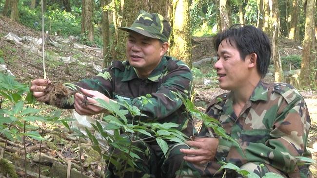 Trồng sâm Ngọc Linh ở Quảng Nam, Kon Tum mang hi vọng mới cho giống sâm Ngọc Linh