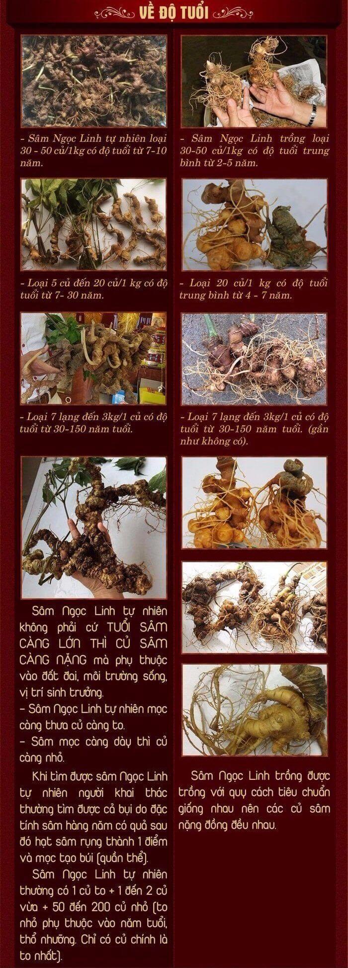 Cách phân biệt sâm Ngọc Linh tự nhiên và sâm Ngọc Linh trồng 2