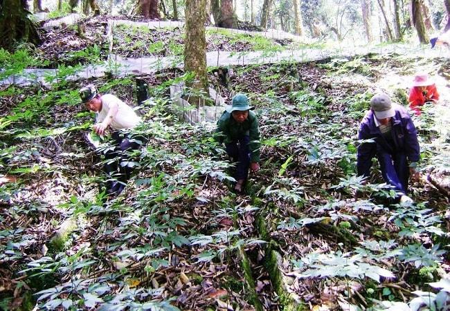 Vùng trồng sâm Ngọc Linh để xuất khẩu ra thế giới