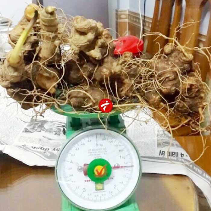 Sâm Ngọc Linh trồng Quảng Nam loại 2-5 củ/kg NS340 2