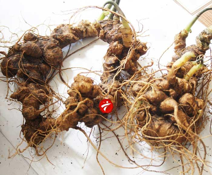 Sâm Ngọc Linh trồng Quảng Nam loại 2-5 củ/kg NS340 3