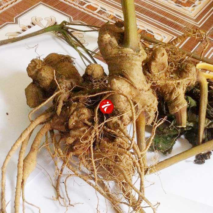 Sâm Ngọc Linh trồng Quảng Nam loại 2-5 củ/kg NS340 5