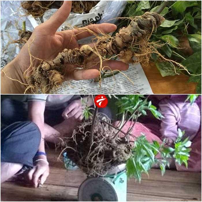 Sâm Ngọc Linh trồng Quảng Nam loại 20 củ/kg NS342 2