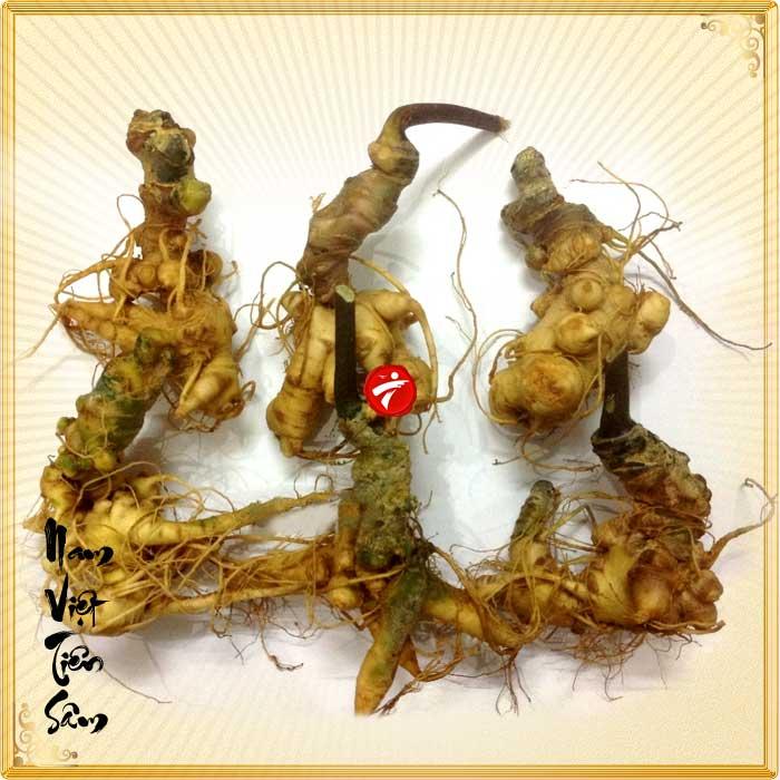 Sâm Ngọc Linh trồng Quảng Nam loại 20 củ/kg NS342