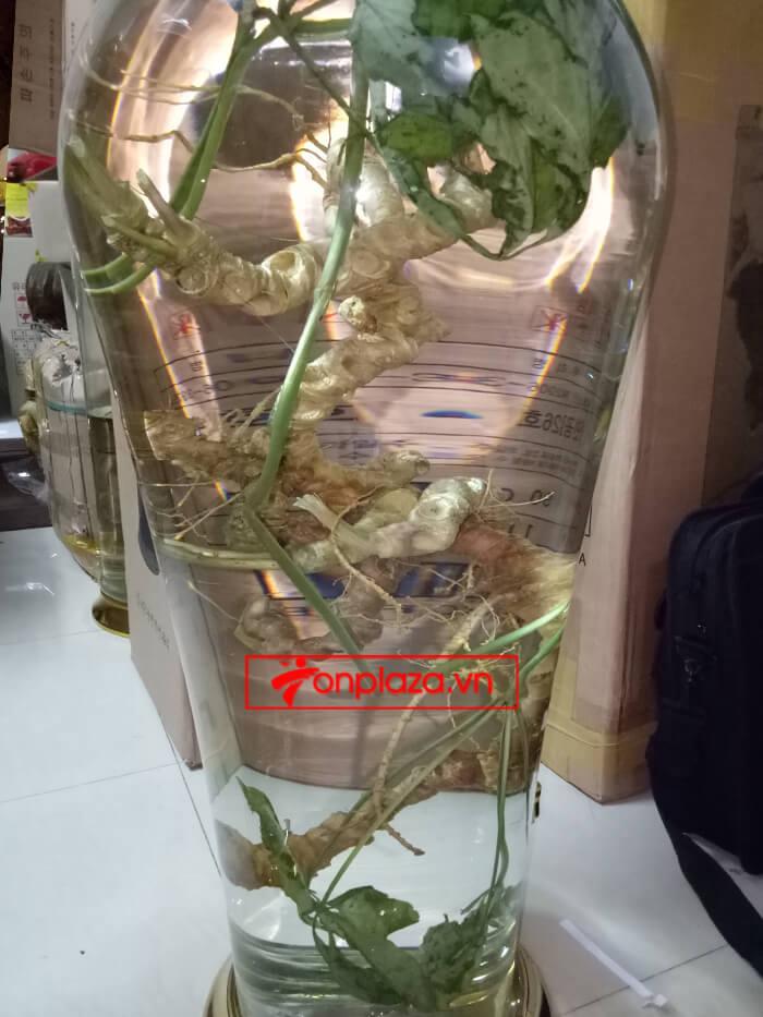 Bình sâm ngọc linh 100 tuổi tự nhiên loại 1.5kg 3