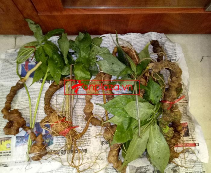 Sâm Ngọc Linh tự nhiên nguyên củ loại 10 - 20 củ/1kg 10