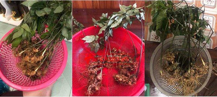 Sâm Ngọc Linh 8 - 10 năm tuổi 20 củ/kg NS179 3